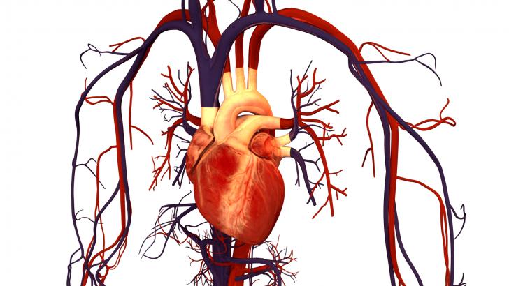Сердце и сосуды (схема)
