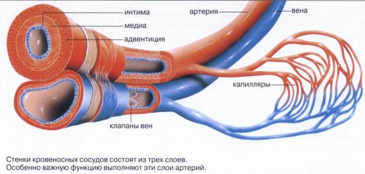 Вены, артерии и капилляры