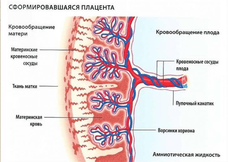 Кровообращение плода (схема)