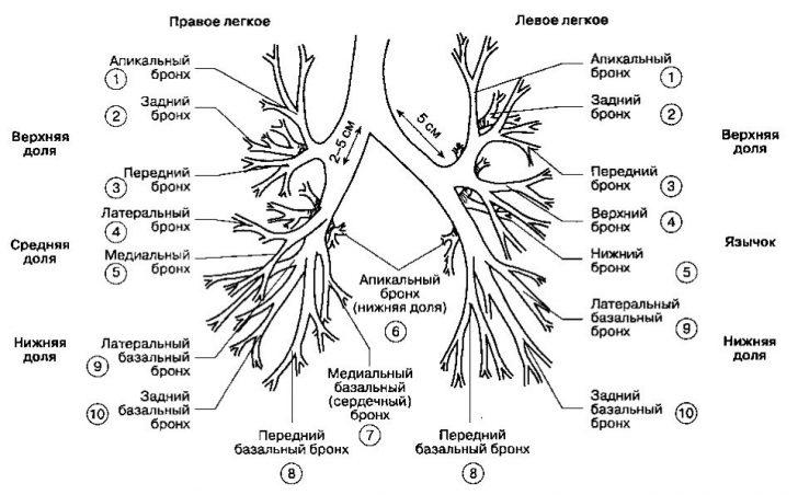 Бронхиальное дерево (схема)