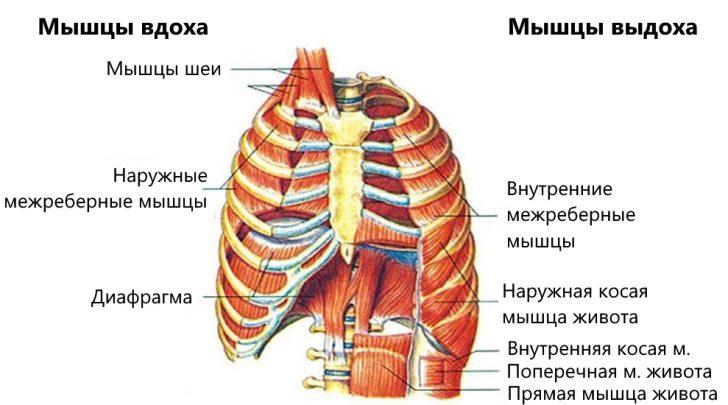 Дыхательные мышцы (схема)