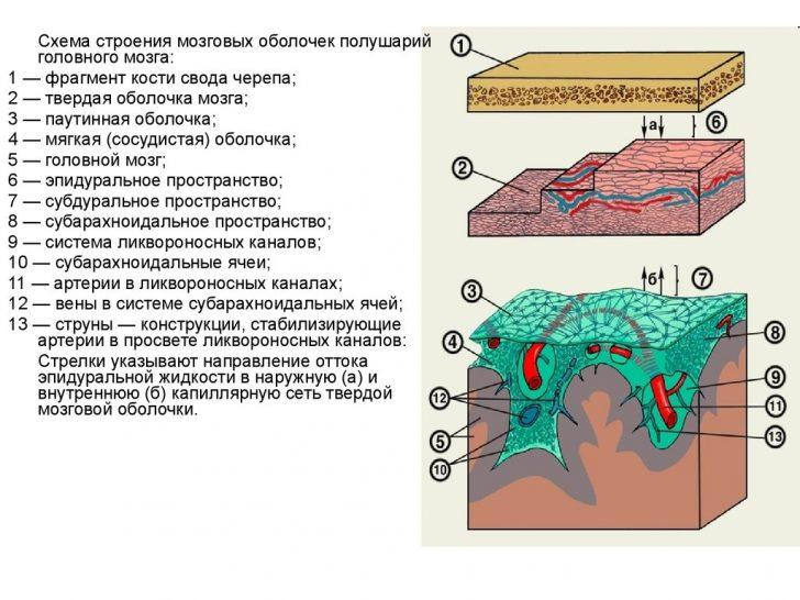 Строение оболочек мозга