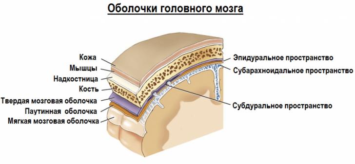 Оболочки мозга (схема)