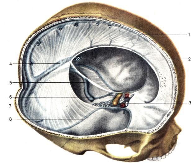 Твёрдая мозговая оболочка (схема)