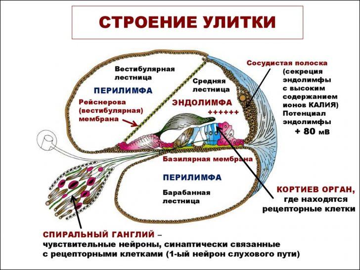 Строение улитки лабиринта внутреннего уха (схема поперечного среза)
