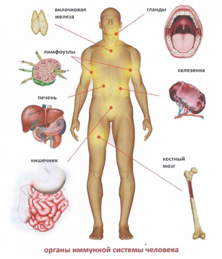 Иммунная система человека (схема)