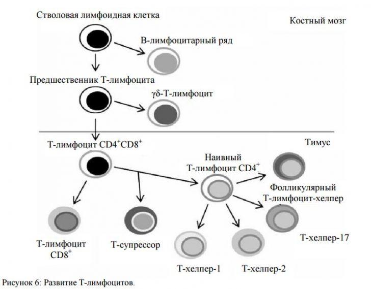 Схема развития Т-лимфоцитов