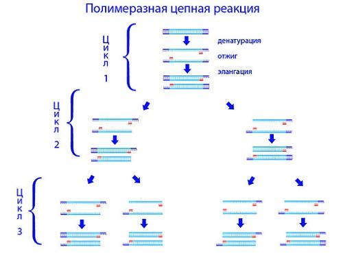 ПЦР (схема)