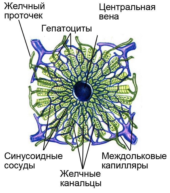 Печёночная долька (схема)