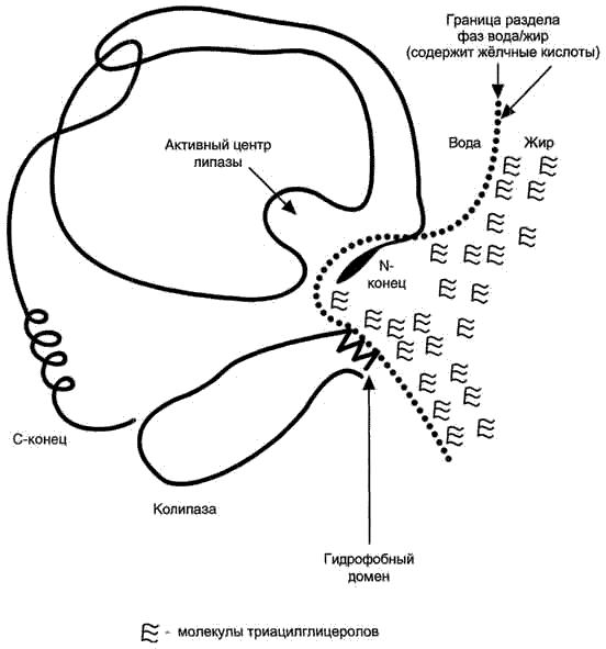 Воздействие липаз на жиры, эмульгированные желчью