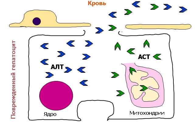 АЛТ и АСТ внутри печени