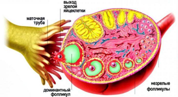 Выход яйцеклетки из фолликула