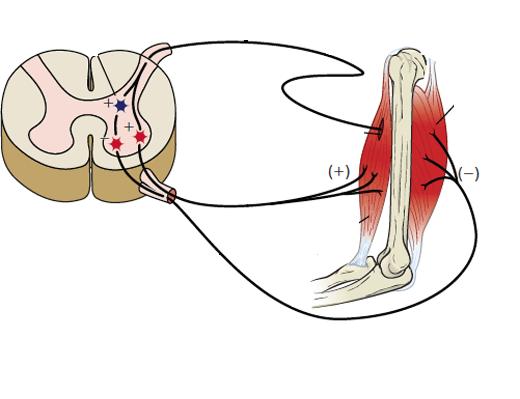 Передча импульса от мозга к икроножной мышце