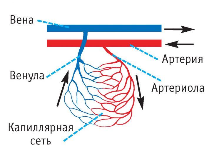 Строение капиллярного русла (схема)