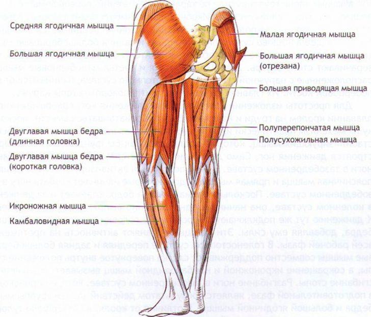 Строение мышц нижней конечности (схема)