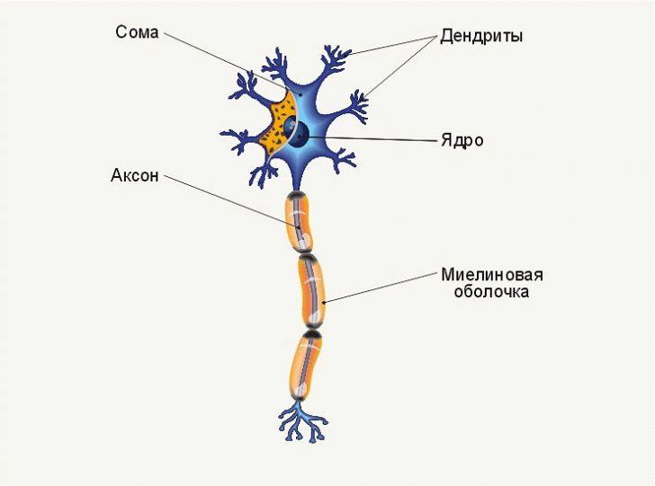 Строение нервной клетки (схема)