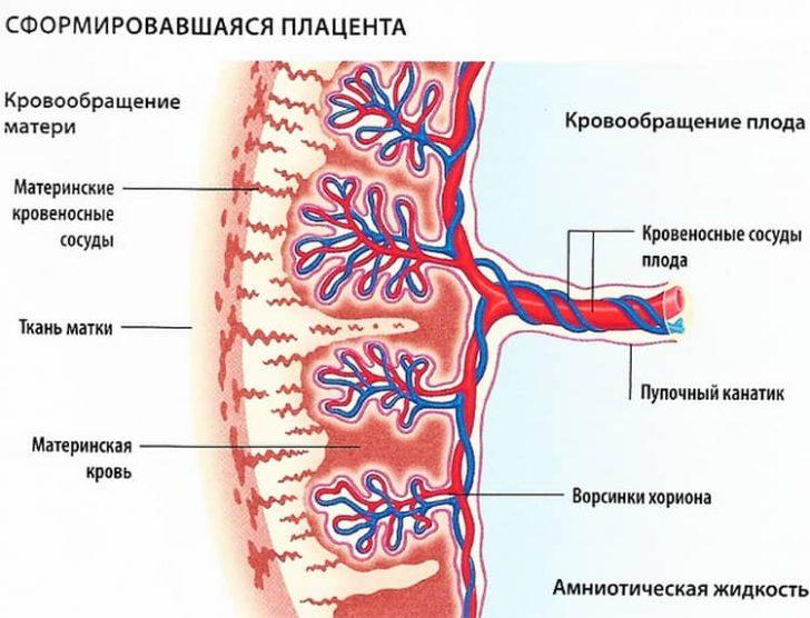 Сосуды плаценты (схема)