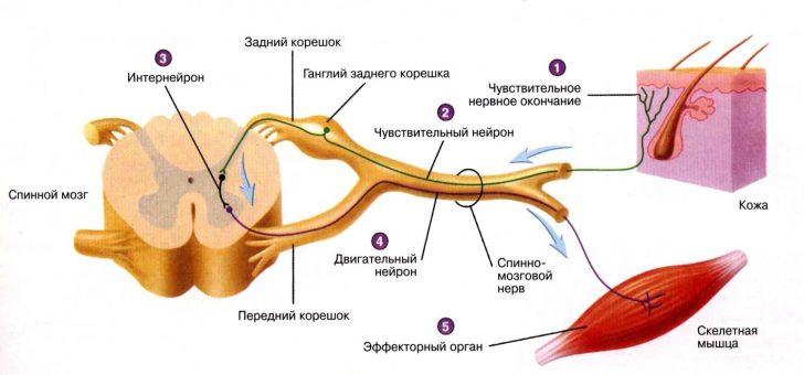 Чувствительные нервные пути (схема)