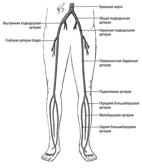 Артерии нижних конечностей (схема)