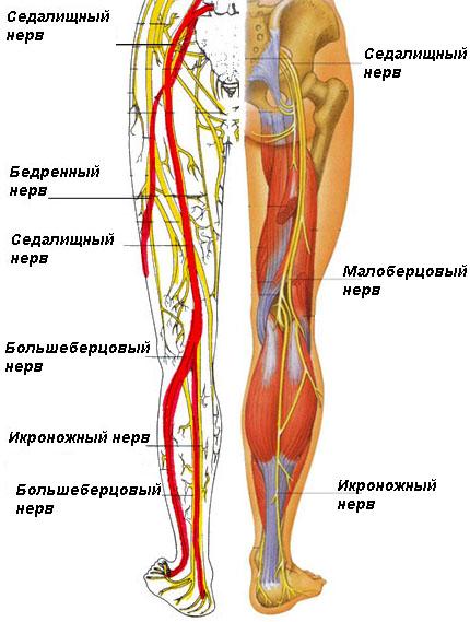 Строение седалищного нерва (схема)
