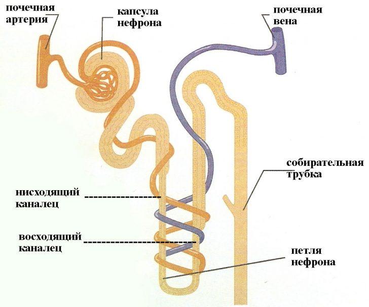 Строение нефрона