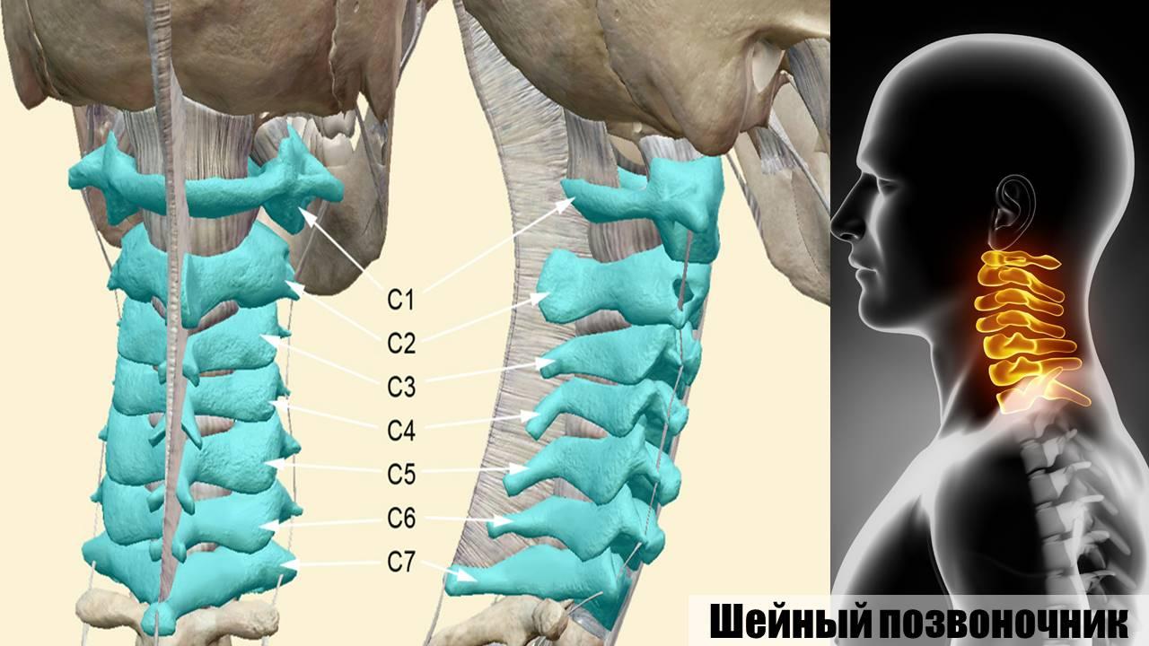 души шейный отдел позвоночника картинка со всеми мышцами конвертики обеих сторон