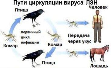Вирус ЛЗН